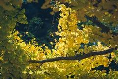 biloba重点银杏树叶子留给浅 库存照片