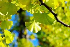 biloba银杏树叶子黄色 免版税库存照片