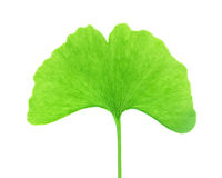 biloba银杏树查出的叶子 免版税库存图片