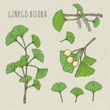 Biloba гинкго собрания изолировало листья, на ягоде ветви Установленный медицинский, ботанический завод Нарисованная рука эскиза  Стоковые Фотографии RF