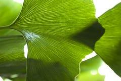 Biloba close-up. Biloba leaf close-up on white background Royalty Free Stock Photo