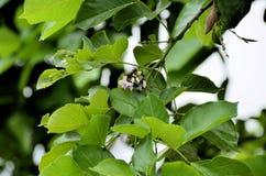 Biloba da nogueira-do-Japão da árvore de Maidenhair fotografia de stock