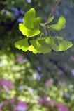 Biloba de Gingko Image libre de droits