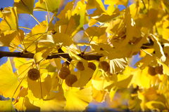 Biloba de Ginko Photo stock