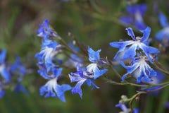 Biloba de Leschenaultia - Leschenaultia azul Foto de archivo
