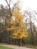 Biloba del Ginkgo en otoño imagen de archivo libre de regalías