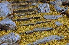 Biloba del Ginkgo, y pasos de progresión Foto de archivo libre de regalías