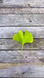 Biloba di Ginko su fondo di legno Pianta medicinale della foglia verde sopra Immagini Stock