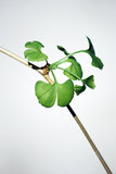 Biloba do Gingko Foto de Stock