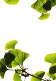 Biloba do Ginkgo Imagem de Stock