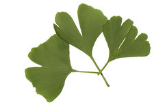 Biloba gingko Royalty Free Stock Photos