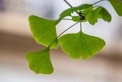 Biloba, gingko, träd av de fyrtio sköldarna eller valnöt för Ginkgo av Japan royaltyfri bild