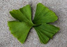 Biloba Ginko, δύο φύλλα από κοινού στοκ φωτογραφία με δικαίωμα ελεύθερης χρήσης