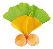 biloba owoc ginkgo liść nad gałązką obraz stock