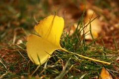 Biloba van Ginkgo, gevallen bladeren, de herfst Stock Afbeeldingen