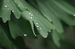 Bilobabladeren van Ginkgo Royalty-vrije Stock Afbeelding