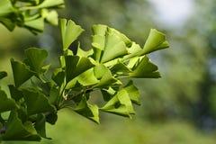 Bilobabladeren van Ginkgo Stock Fotografie