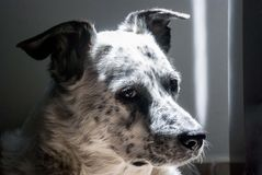 Bily在贵族姿势的狗 免版税库存照片