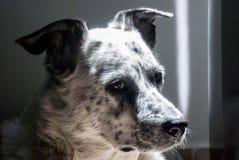 Bily il cane nella posa aristocratica Fotografie Stock Libere da Diritti