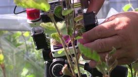 BILY KRIZ, TSJECHISCHE REPUBLIEK, 2 AUGUSTUS, 2016: Onderzoek bij de fotosynthese in vergankelijk, beuk, wetenschappelijke studie stock video