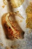 Bimaculata de Diplecogaster - clingfish Dois-manchado Imagem de Stock