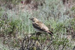 Bimaculated Lark Melanocorypha bimaculata sitting on boyalich bush stock photos