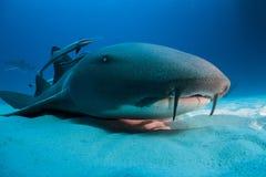Bimini των Μπαχαμών καρχαριών νοσοκόμων στοκ φωτογραφία με δικαίωμα ελεύθερης χρήσης