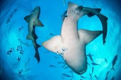 Bimini των Μπαχαμών καρχαριών νοσοκόμων στοκ εικόνες με δικαίωμα ελεύθερης χρήσης