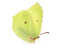 Bimstone butterfly Stock Photo