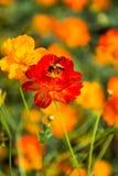Bin är nektar i blommorna i Thailand Royaltyfri Bild