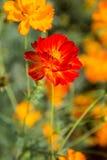 Bin är nektar i blommorna i Thailand Fotografering för Bildbyråer