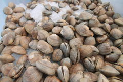 Bin of clams Royalty Free Stock Image