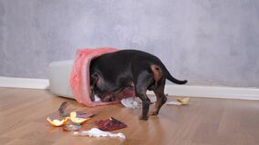 Naughty dachshund dog digging through a pile of garbage scraps in search of food