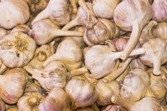 Bin of fresh purple garlic. A bin containing fresh purple garlic corms Royalty Free Stock Image
