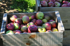 Bin of freshly picked apples. Sitting in an orchard Royalty Free Stock Photos