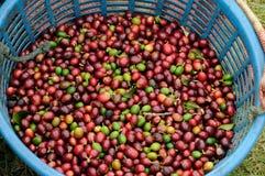 Bin full green coffee in Costa Rica Royalty Free Stock Photo