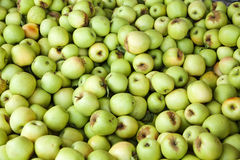 Bin of Green Apples After Fall Harvest Royalty Free Stock Photography