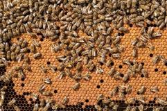 Bin grubblar och att arbeta bilarver som värmas på honungskakan Arkivfoton