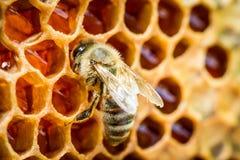 Bin i en bikupa på honungskakan Royaltyfria Foton