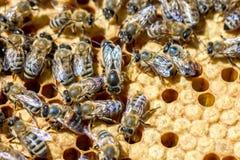 Bin i tecknet på hårkammarna som äter honung Arkivbilder