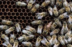 Bin inom en bikupa med drottningbiet i mitt Royaltyfri Bild