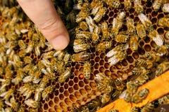 Bin inom en bikupa med drottningbiet i mitt Arkivbild