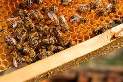 Bin inom en bikupa med drottningbiet i mitt Arkivfoto