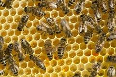 Bin konverterar nektar in i honung Arkivfoton