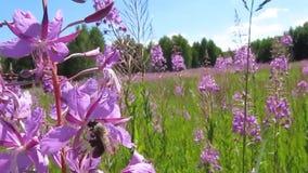 Bin mot efterkrav nektar och pollen från mjölkört lager videofilmer