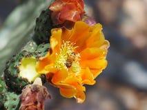 Bin och myror som söker efter föda på en orange kaktusblomma för taggigt päron Royaltyfri Foto