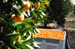 Bin of oranges Royalty Free Stock Images