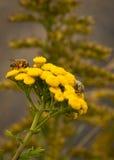 Bin på blommor Royaltyfri Fotografi