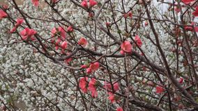 Bin på de rosa blommorna med fonde för vita blommor stock video