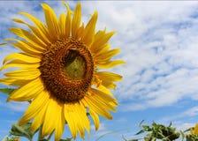 Bin på en solros och en blå himmel Arkivfoton